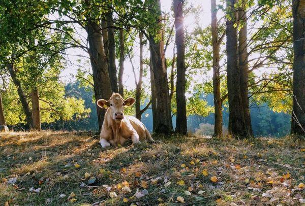 Spokojená kráva z ekofarmy Otročín