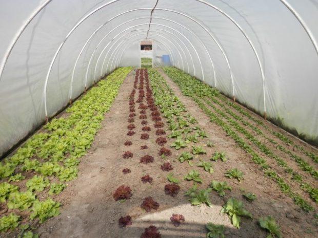 Saláty ve skleníku ekofarmy Kozozel