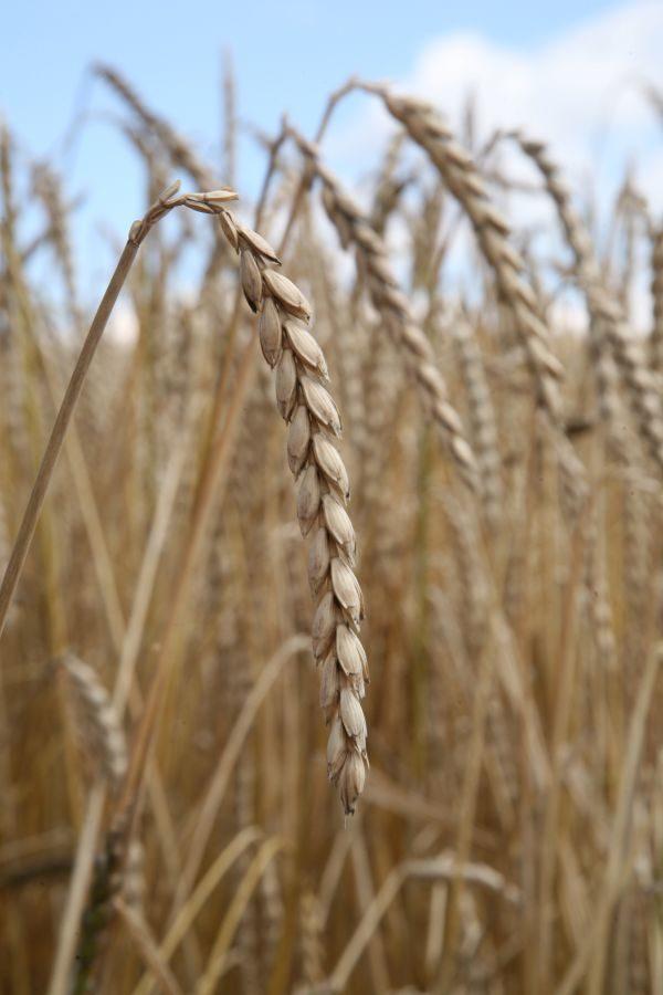 Pšenice setá