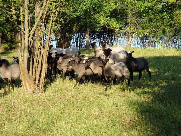 Ekofarma Košík - ovce