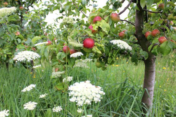Biojablka ze Schauerových zahrad