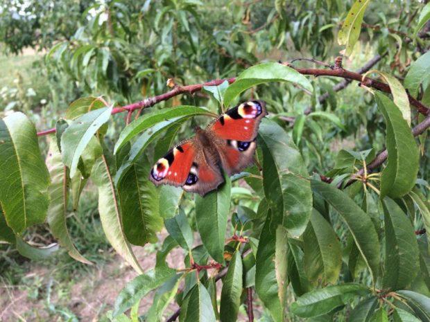 Motýl na stromě v bioovocnářství Schauerovy zahrady