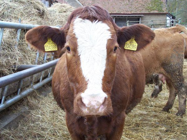 Kráva z ekofarmy Kunclův mlýn