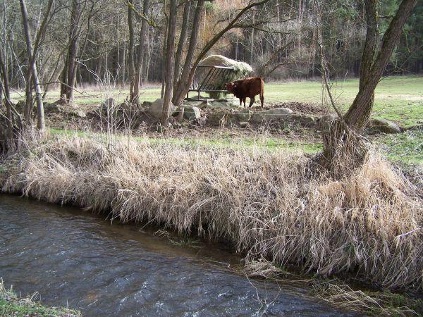 Kráva u potoka - ekofarma Kunclův mlýn