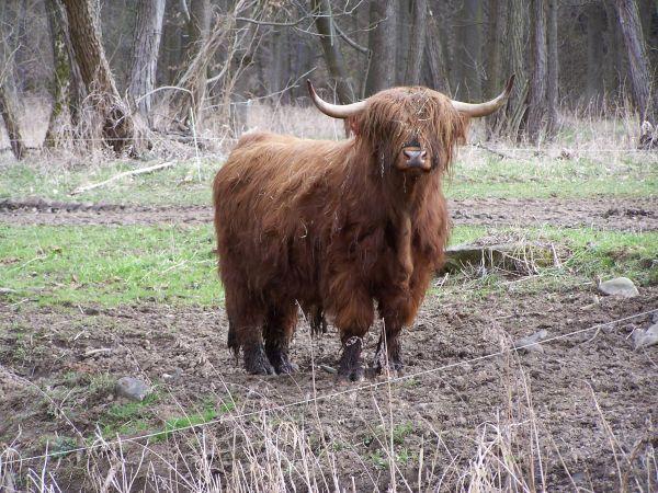 Skotský náhorní skot - ekofarma Kunclův mlýn