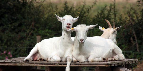 Den otevřených dveří na ekofarmě Šťastná koza