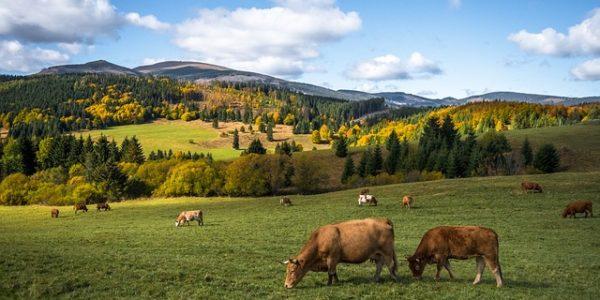 Masný skot z ekologického chovu stráví většinu života na pastvině.