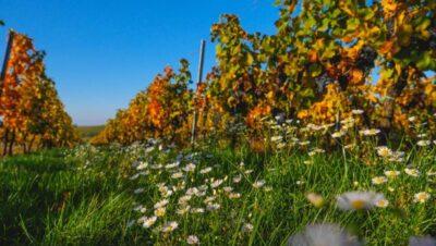 Na vinicích roste mnoho květin.